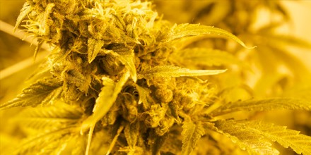 Potency of Weed Strains Grow Stronger